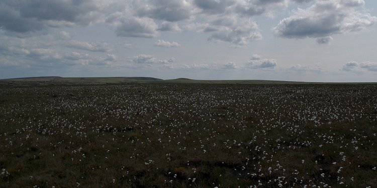 Cotton Grass Carpets on Haslingden Moor in Rossendale, Lancashire, England - June 2013