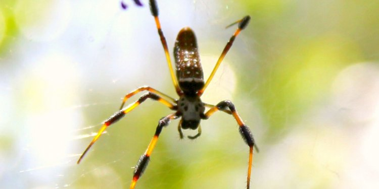 Golden orb silk-weavers release a poisonous neurotoxin similar to that of the black widow