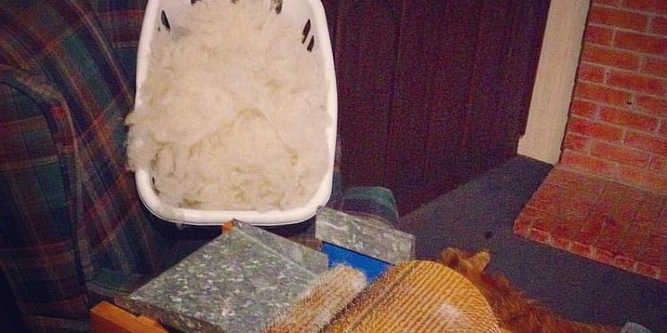 Living room fiber processing center: rented carding machine, hours of fluff prepped wool in a basket...