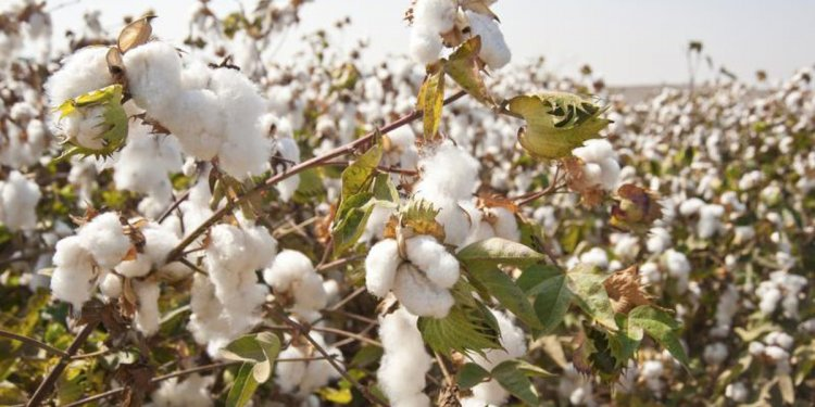 Cotton fibre uses