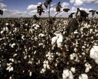 What is cotton made from?