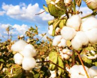 What is cotton made into?